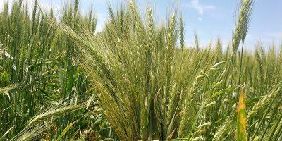 Confirman que el trigo es rentable en el modelo agroecológico 7