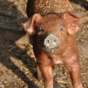 Porcinos: Resumen de la semana por el Médico Veterinario Carlos Octeda 28