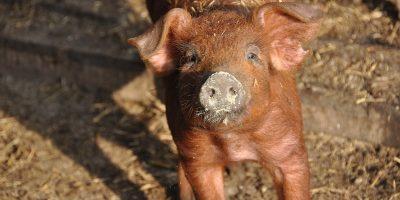 Porcinos: Resumen de la semana por el Médico Veterinario Carlos Octeda 7