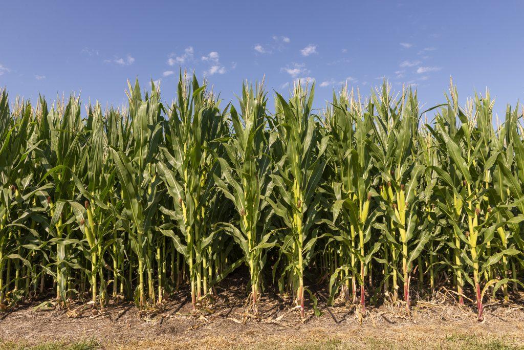 Bayer® presentó su nueva campaña de maíz con importantes beneficios 1