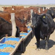 Transformar sorgo en carne: una oportunidad para agregar valor 27