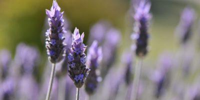 Cuáles son los hábitos de consumo y uso de las aromáticas medicinales 17