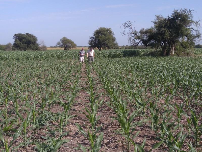 DESDE INTA: Evalúan estrategias para multiplicar los rindes en híbridos de maíz 2
