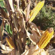 DESDE INTA: Evalúan estrategias para multiplicar los rindes en híbridos de maíz 12