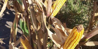 DESDE INTA: Evalúan estrategias para multiplicar los rindes en híbridos de maíz 6