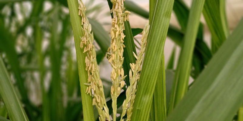DESDE INTA PARANÁ: Aplican tecnología para obtener líneas de trigo más competitivos 1