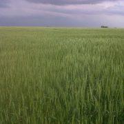 Prevén una producción de 5,19 millones de toneladas de trigo 2
