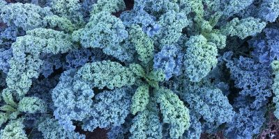 Kale: un súper alimento que gana terreno entre los consumidores 6