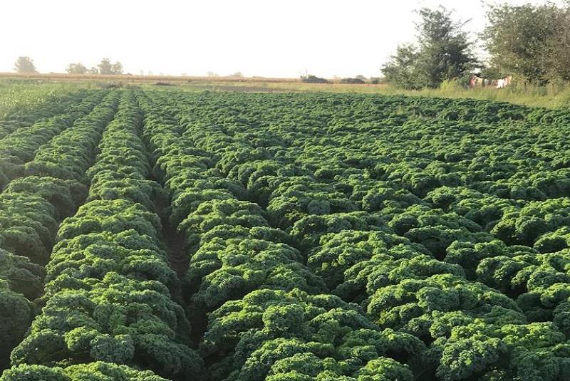 Kale: un súper alimento que gana terreno entre los consumidores 1