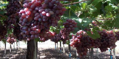 Genética: Desarrollan nueve variedades de uva de mesa sin semilla 5