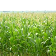 CRA: La cotización del maíz volvió a acaparar la atención 15