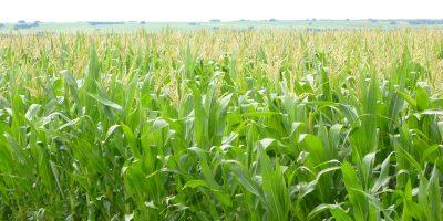 CRA: La cotización del maíz volvió a acaparar la atención 6