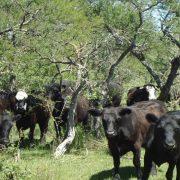 INTA: Cómo promover el almacenaje de carbono en sistemas ganaderos 4