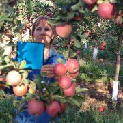 Evalúan el uso de imágenes digitales para calcular rindes frutícolas 17