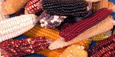 La importancia de conservar las variedades locales 6