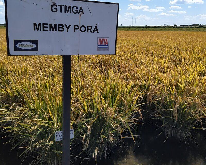 Presentan un nuevo grano de arroz largo fino 2