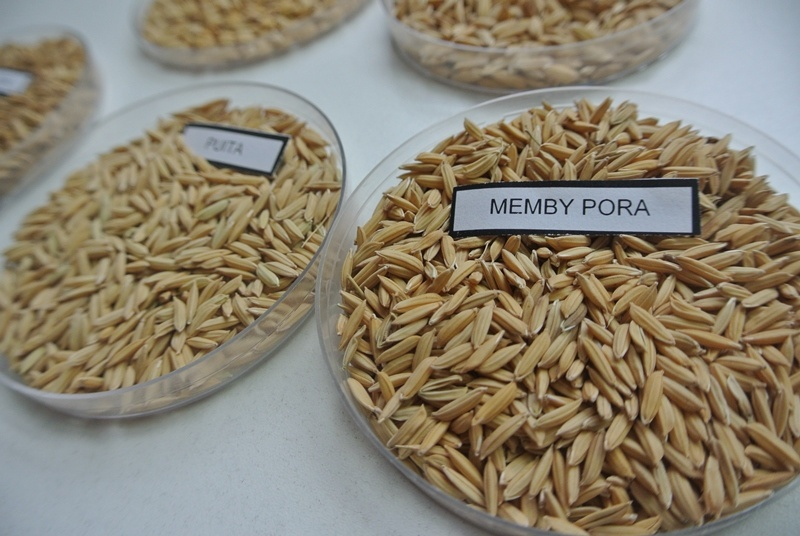 Presentan un nuevo grano de arroz largo fino 3