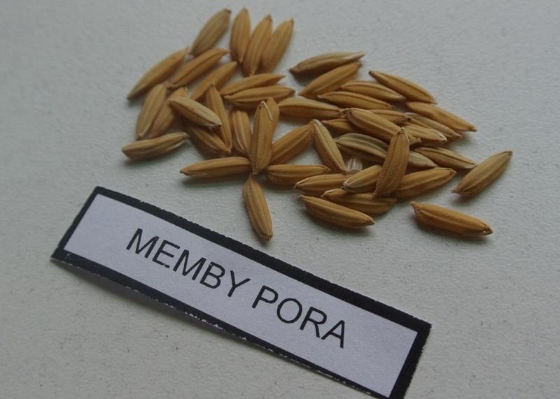 Presentan un nuevo grano de arroz largo fino 1