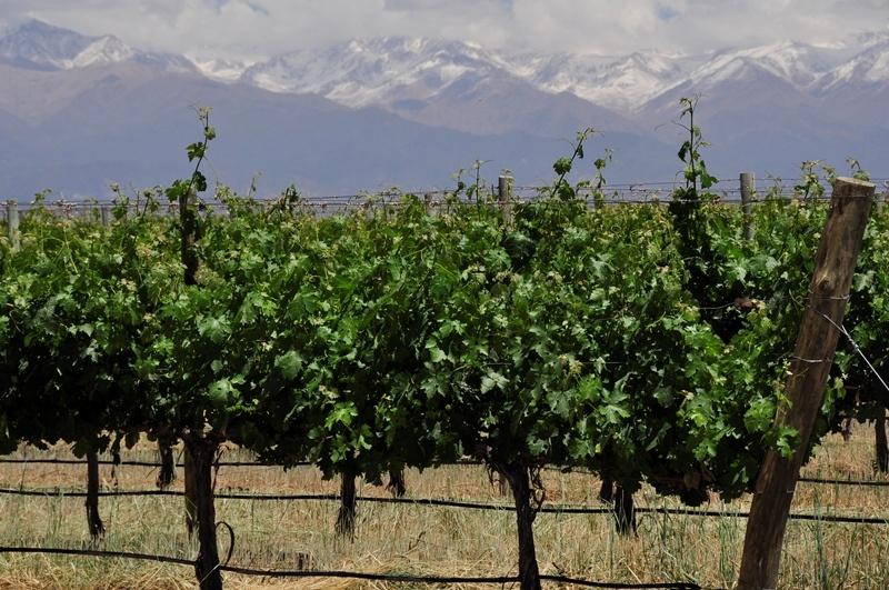 INTA: Estudian el impacto de los suelos salinos en los vinos y viñedos 2
