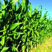 Alerta para el maíz temprano en la zona núcleo donde el 65% del área está con sequía 5