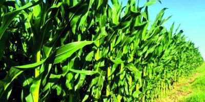 Alerta para el maíz temprano en la zona núcleo donde el 65% del área está con sequía 7
