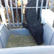 El INTA suma tecnología inteligente a la ganadería 3