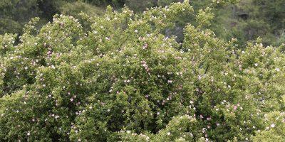 Estudian el potencial de la rosa mosqueta como biocombustible 9