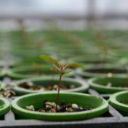 Semillas de Eucalipto peletizadas, una técnica que agrega eficiencia al cultivo 2