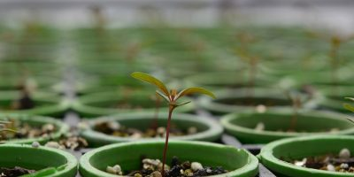 Semillas de Eucalipto peletizadas, una técnica que agrega eficiencia al cultivo 5