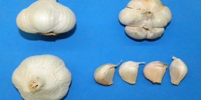 Aylin, un ajo blanco desarrollado para el mercado internacional 9