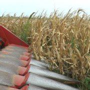Cosecha de maíz: con el foco puesto en el cabezal 15