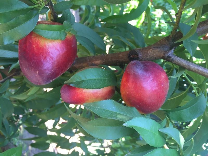 Presentan un nuevo cultivar de nectarina 1