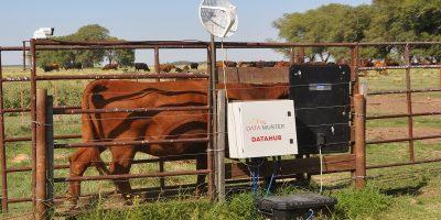 El INTA pone a punto una balanza inteligente para vacas 9