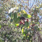 Maqui: el súper berry que el INTA busca cultivar 2