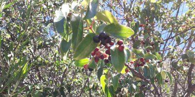 Maqui: el súper berry que el INTA busca cultivar 8
