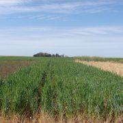 Destacan incremento del cultivo del trigo y maíz en la región núcleo 7
