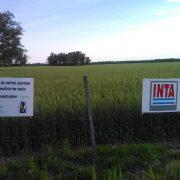 El zinc y los microorganismos mejoran el rendimiento del trigo 2