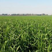 Fertilización: apuntes para potenciar el rinde del trigo 4