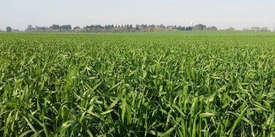 Fertilización: apuntes para potenciar el rinde del trigo 6