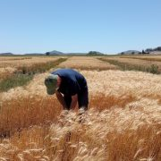 Evalúan un biofertilizante que aumenta el rendimiento del trigo 15
