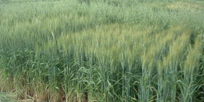 Analizan cultivares de trigo que pueden competir contra malezas resistentes 5