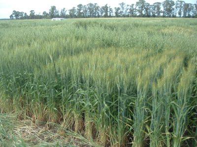 Analizan cultivares de trigo que pueden competir contra malezas resistentes 1