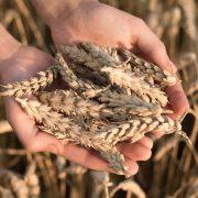 Trigo, entre los cultivos más exigentes y demandantes de nutrientes 14