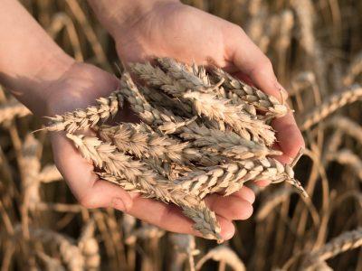 Trigo, entre los cultivos más exigentes y demandantes de nutrientes 10