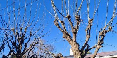 El INTA brindó 5 consejos sobre la poda de los árboles 6
