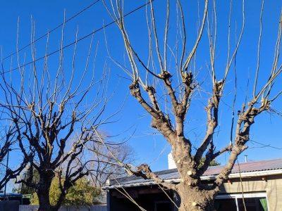 El INTA brindó 5 consejos sobre la poda de los árboles 8