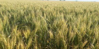 Los rendimientos en trigo estarán limitados por el déficit hídrico 7