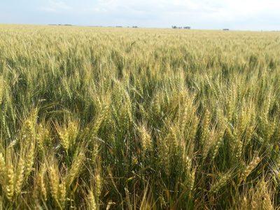 Los rendimientos en trigo estarán limitados por el déficit hídrico 1