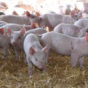 El sector porcino crece en consumo, exportación y producción 3