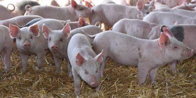 El sector porcino crece en consumo, exportación y producción 10